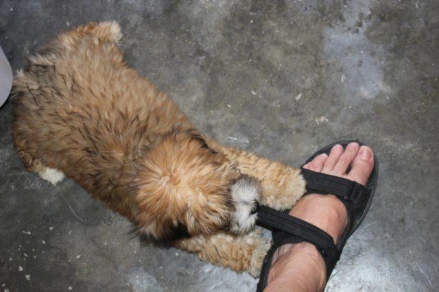 Haitian Attack Dog